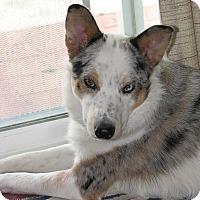 Adopt A Pet :: Roscoe - Boulder, CO