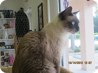 Siamese Cat for adoption in Bunnell, Florida - Mocha