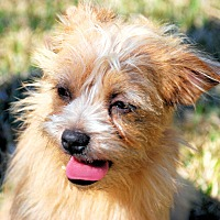 Shih Tzu/Chihuahua Mix Dog for adoption in Dallas, Texas - Skitch