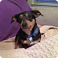 Adopt A Pet :: Beenie - Knoxville, TN
