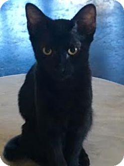 Bombay Kitten for adoption in Houston, Texas - Martha