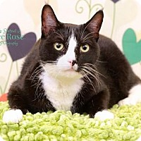 Adopt A Pet :: Petey - Sterling Heights, MI