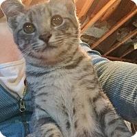 Adopt A Pet :: Lou Lou - Byron Center, MI