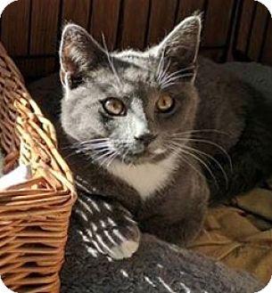 Domestic Shorthair Kitten for adoption in Manasquan, New Jersey - Solid Gray male kitten