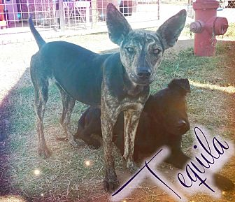 Blue Heeler Mix Dog for adoption in Odessa, Texas - Tequila