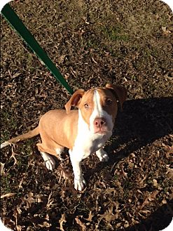 American Staffordshire Terrier Mix Puppy for adoption in Sterling, Massachusetts - HENRY