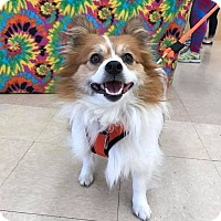Adopt A Pet :: Gizmo - Norman, OK