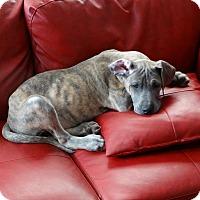 Adopt A Pet :: Elsie - Rigaud, QC