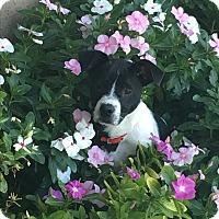 Adopt A Pet :: Oliver - Brea, CA