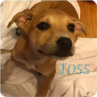 Jack Russell Terrier Mix Dog for adoption in Gilbertsville, Pennsylvania - Joss