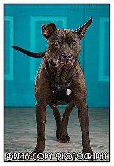 Pit Bull Terrier Mix Dog for adoption in Owensboro, Kentucky - Cookie