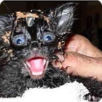 Adopt A Pet :: Blackie - Washington Terrace, UT