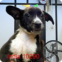 Adopt A Pet :: India - Greencastle, NC