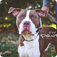 Adopt A Pet :: Maddox - Springfield, IL