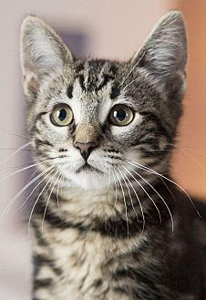 Domestic Shorthair Kitten for adoption in Chicago, Illinois - Dapple