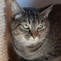 Domestic Shorthair Cat for adoption in Denver, Colorado - Selina