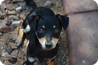 Chihuahua/Dachshund Mix Puppy for adoption in Phoenix, Arizona - Nora