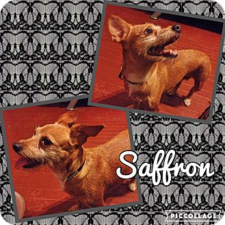 Chihuahua/Jack Russell Terrier Mix Dog for adoption in Enid, Oklahoma - Saffron