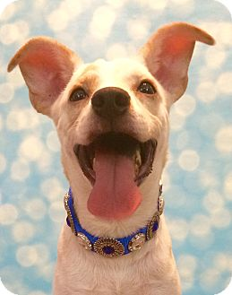 Labrador Retriever/Jack Russell Terrier Mix Dog for adoption in Branford, Connecticut - Sir Wagglesworth