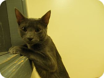 Domestic Shorthair Kitten for adoption in Milwaukee, Wisconsin - Noah
