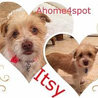 Adopt A Pet :: Itsie - Las Vegas, NV