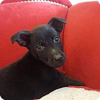 Adopt A Pet :: Nola - Minot, ND