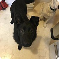 Adopt A Pet :: Chowder - Gilbertsville, PA