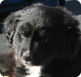 Border Collie Mix Puppy for adoption in Somers, Connecticut - Star - I am super sweet!