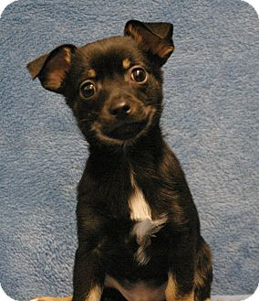 Chihuahua Mix Puppy for adoption in Sacramento, California - Chub