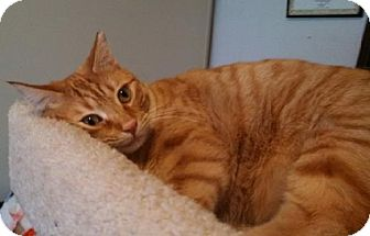 Domestic Shorthair Cat for adoption in San Jose, California - Lucky C