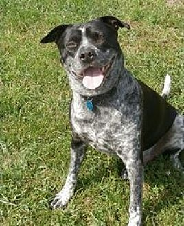 Pit Bull Terrier/Australian Cattle Dog Mix Dog for adoption in Covelo, California - Miles