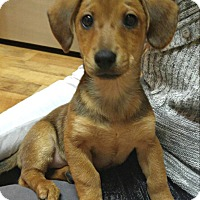 Adopt A Pet :: Max Pup - Knoxville, TN
