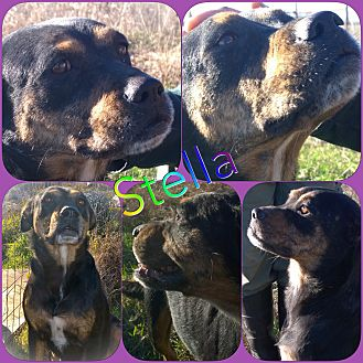 Boxer/Rottweiler Mix Dog for adoption in Ravenna, Texas - Stella