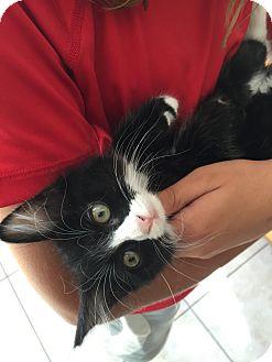 American Shorthair Kitten for adoption in San Jose, California - Tippy-Toes