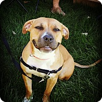 American Pit Bull Terrier Dog for adoption in Vernon Hills, Illinois - Brandi