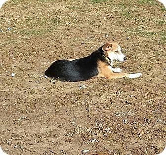 Hound (Unknown Type)/Shepherd (Unknown Type) Mix Puppy for adoption in Mount Holly, New Jersey - Lucy Girl