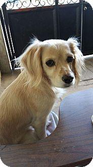 Cavalier King Charles Spaniel Mix Dog for adoption in San Diego, California - Mandy