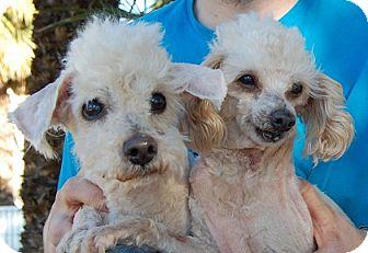 Poodle (Miniature) Mix Dog for adoption in Las Vegas, Nevada - Bougado