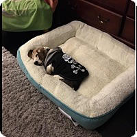 Adopt A Pet :: Courage - Alexandria, VA