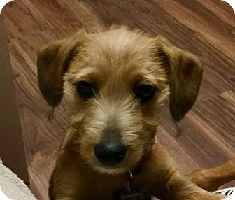 Dachshund/Feist Mix Puppy for adoption in Orangeburg, South Carolina - Adoption pending - Gerry