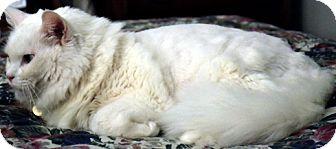 Domestic Mediumhair Cat for adoption in Simi Valley, California - Snowflake