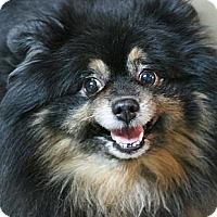 Adopt A Pet :: Black Jack - Canoga Park, CA