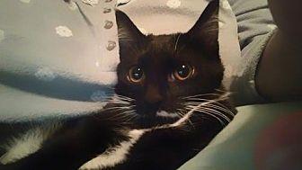 Domestic Shorthair Cat for adoption in St. Louis, Missouri - Miss Mario