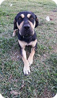 Rottweiler Mix Puppy for adoption in San Antonio, Texas - Sassy