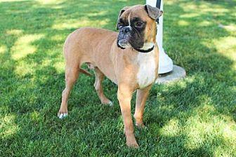 Boxer/American Bulldog Mix Dog for adoption in Alameda, California - Linc