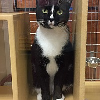 Domestic Shorthair Cat for adoption in Salisbury, North Carolina - Sophia