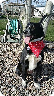 Border Collie/Australian Shepherd Mix Dog for adoption in Jackson, Idaho - Patches