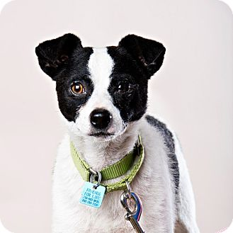 Jack Russell Terrier Mix Dog for adoption in Houston, Texas - Jack