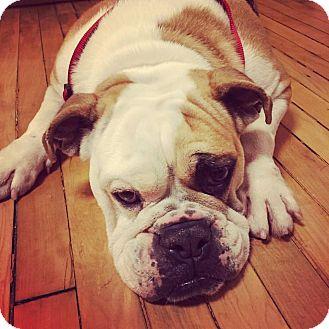 English Bulldog Dog for adoption in Park Ridge, Illinois - Florence Foster Jenkins