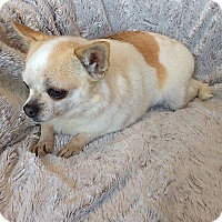 Chihuahua Dog for adoption in Overland Park, Kansas - Attey